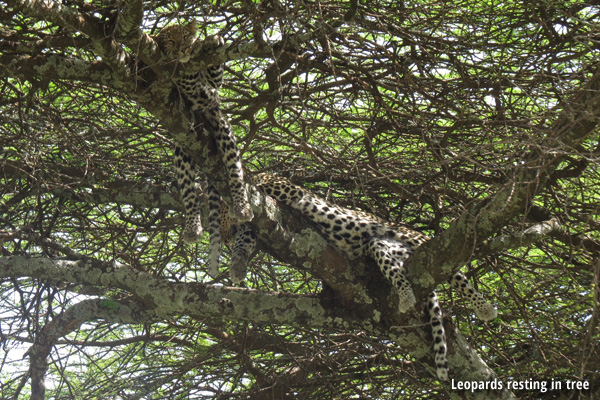 Leopards resting