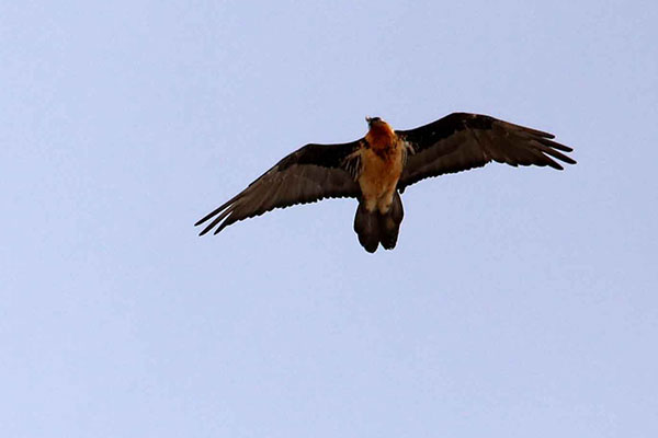 Bearded Vultures patrol ridgetops and valleys searching for carcasses.