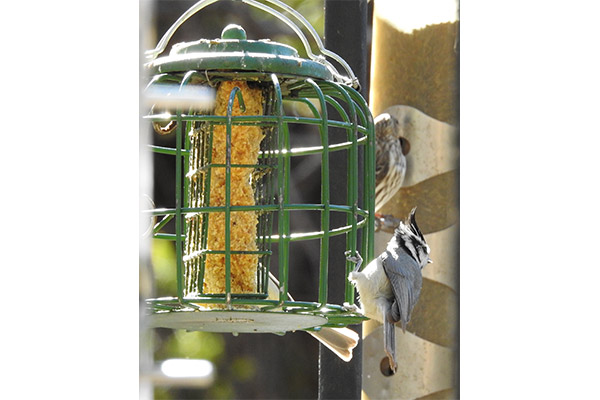 Bridled Titmouse at Suet Feeder