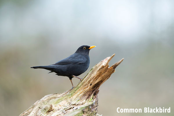 Common Blackbird on tree trunk