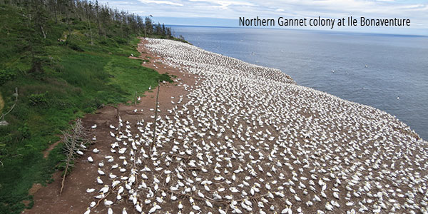 Northern Gannett colony