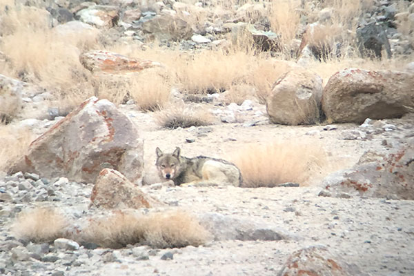 One of the Tibetan Wolves taking a rest after gorging on meat.