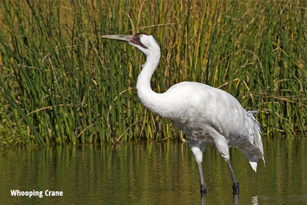 Whooping Crane Quest Nature Tours