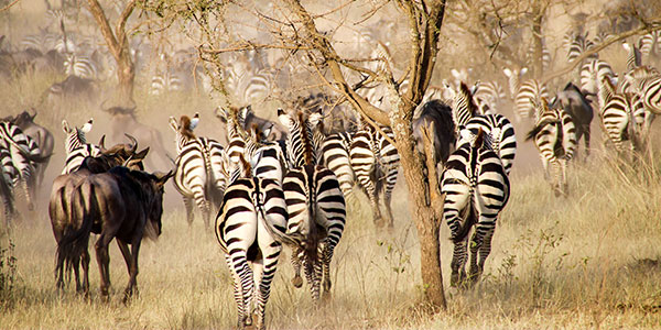 Zebras and wildebeest during the big migration, Serengeti National Park, Tanzania