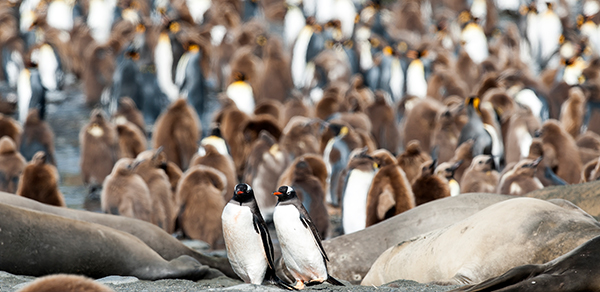 gentoo amongst king penguin Gold Harbour South Georgia Photographer Renato Granieri