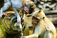 Crab eating monkeys in a stone temple
