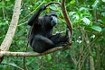 Black or Crested Macaque