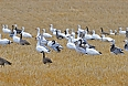 Snow Geese, Canada Geese, Greater White-fronted Geese (Photo by: Justin Peter)