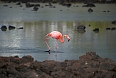 There is an estimated population of 400-500 American Flamingos in the archipelago
