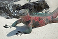 A male Marine Iguana on Española, the most colourful of seven subspecies