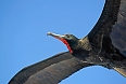 Magnificent Frigatebirds may follow our vessel