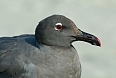 The muted colours of the endemic Lava Gull may serve as an effect camouflage on shorelines