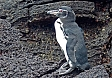Galapagos Penguins inhabit rocky lava shorelines and are the most northerly of all of the world's penguins