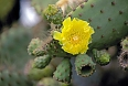 The Galapagos Prickly Pear is a signature plant of the islands