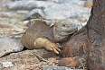 The Santa Fé Land Iguana feeds on prickly pear pads and fruit