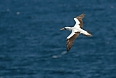 We will see the near-endemic Nazca Booby up-close and in graceful flight