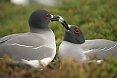Swallow-tailed Gulls allow us to watch their courtship up close