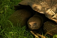 We will see the Santa Cruz Giant Tortoise grazing in verdant highlands