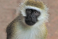 Vervet Monkey photo by Tony Beck