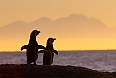 African Penguin pair at sunset near Capetown