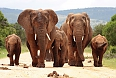 Herd of African Elephants with baby calves