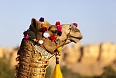 A colourfully decorated camel