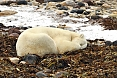 The bears are often indifferent to us. This big male slept on a bed of seaweed.