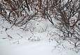 We should see other wildlife. We are watchful for the stirrings of the well-camouflaged Arctic Hare.