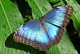 We should spot huge Blue Morphos in the forest understory (photo: Jean Iron)