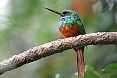The Rufous-tailed Jacamar sits motionless while waiting for flying insects to pass by. (photo: Jean Iron)