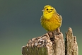 The Yellowhammer is a delightful bunting that we'll look for as it perches on fenceposts or on treetops surrounding pastures.