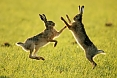 "European Hares a common mammal of agricultural landscape. With some luck and good spotting, we may see males and females ""boxing"" in the field."