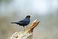 The Common Blackbird is likely to be one of the first birds we'll see.