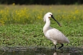 At Neusiedler See National Park, we'll have a chance to observe many wading birds such as Eurasian Spoonbill in the wetlands as well as waterfowl.