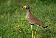 African Wattled Lapwing- Chris Earley