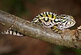 White-lined Chameleon