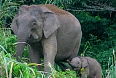 Bornean Pygmy Elephants may be seen at a couple of different locations we visit
