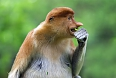 The endemic Proboscis Monkey lives in mangrove forests in the lowlands