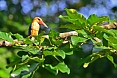 The Stork-billed Kingfisher is a regular sight during boat rides among mangroves (credits: Justin Peter)