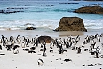 African Penguins on Boulders Beach