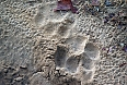 We're always on the lookout for animal tracks and sign. A large Bengal Tiger has been here (photo: Justin Peter)