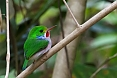 The Cuban Tody is a common endemic bird. It is fairly confiding. (photo by Josh Vandermeulen)