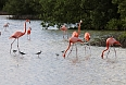 The American (Caribbean) Flamingos at Las Salinas - here with Black-necked Stilts - are a highlight of the Zapata area! (photo by Sherry Kirkvold)