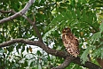Brown Fishing Owl