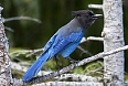 There will be many interesting birds at sea and on land. The Steller's Jay is a common forest denizen that we have a chance of seeing.