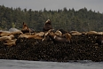 We can also see Steller's Sea Lions in their offshore island colonies.