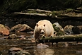 "We will search for the ""Spirit Bears""- the white-furred Black Bears restricted to this part of North America and would be a highlight of this tour!"