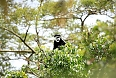 Black-and-white Colobus