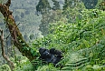 Male Mountain Gorilla in Bwindi Impenetrable Forest