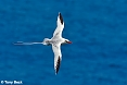 Red-billed Tropicbird (Photo by: Tony Beck)